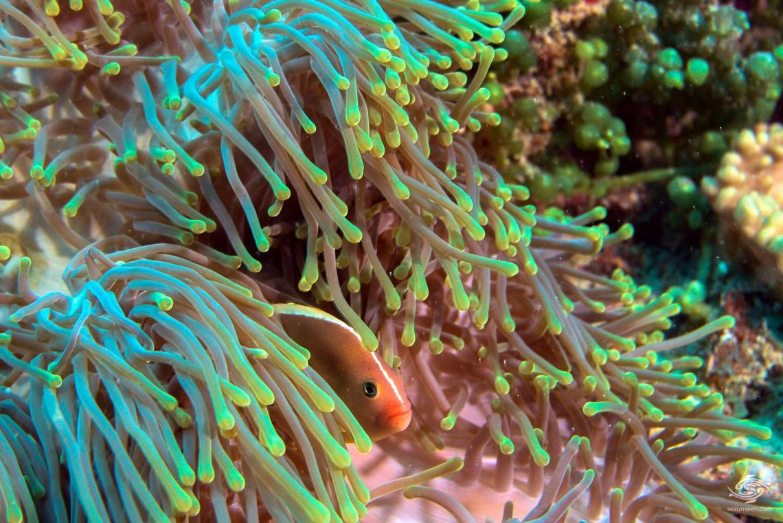 A skunk clown Amphiprion Akallopisos in a magnificent anemone Heteractis magnificae at Powoni near Paje in Zanzibar