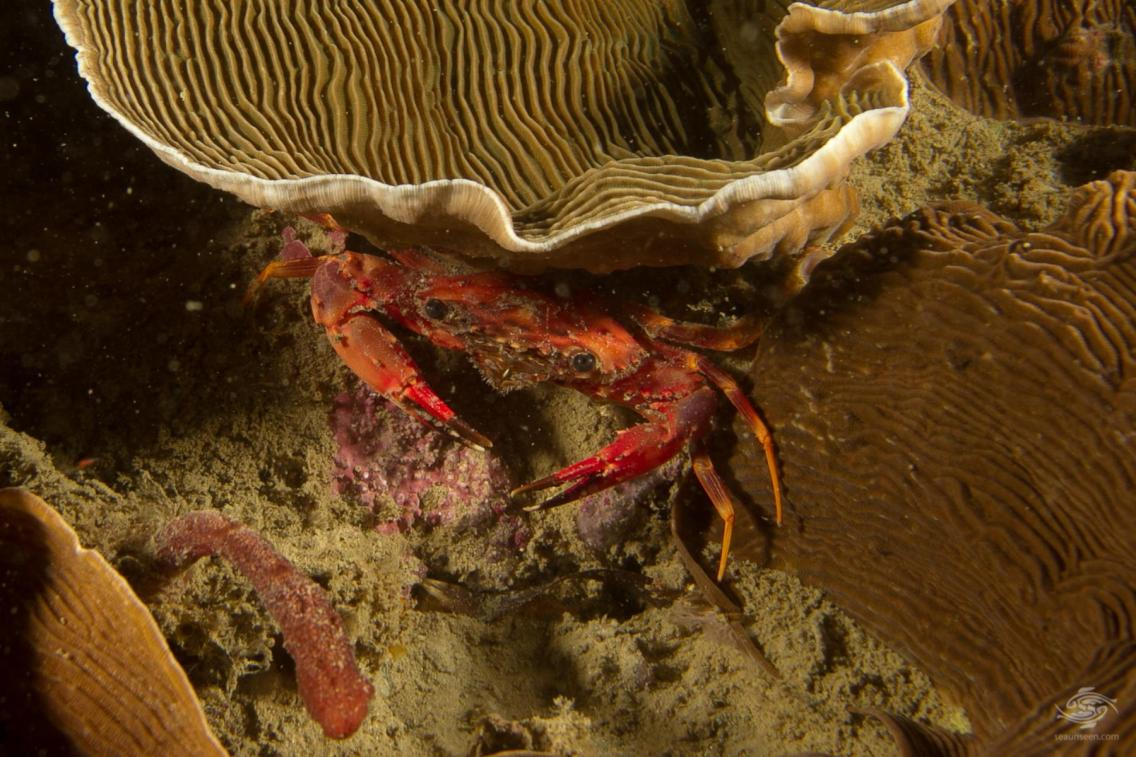 An unknown species of crabScuba diving Bongoyo patch Tanzania