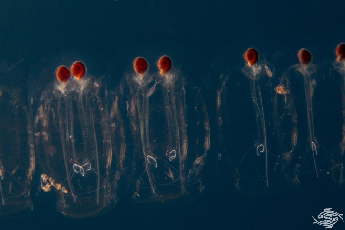 Leucothea species Salp