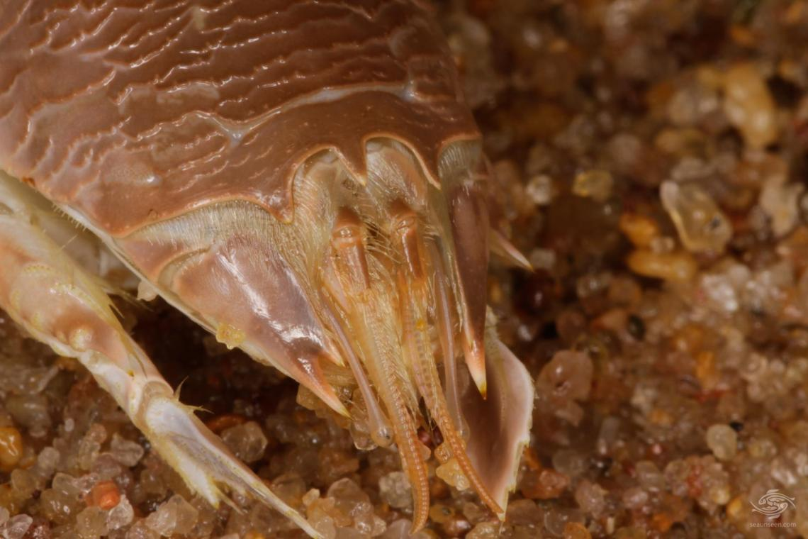 Mole Crabs- Sea Lice-Genus Emerita showing feelers