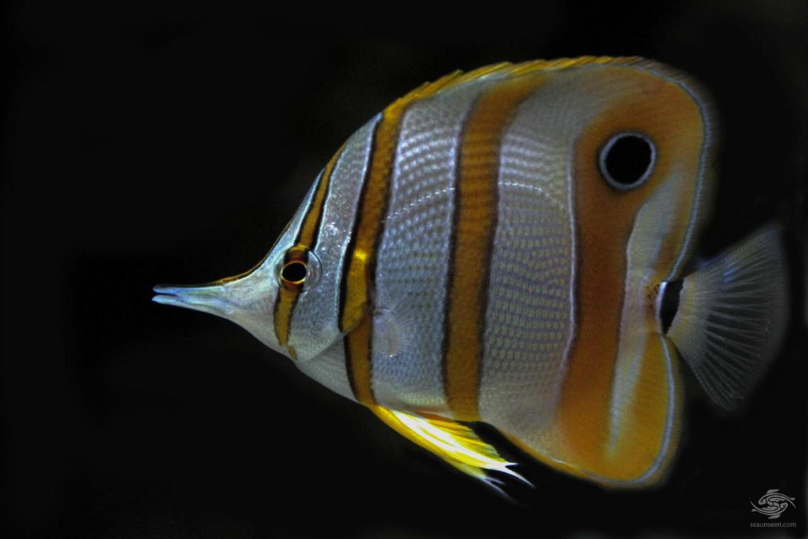 Copperband butterflyfish Chelmon rostratus