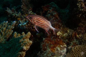 crowned squirrelfish Sargocentron diadema