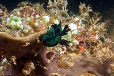 An unknown species of nudibranch at nudi city