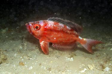 A bigeye out hunting at nudi city