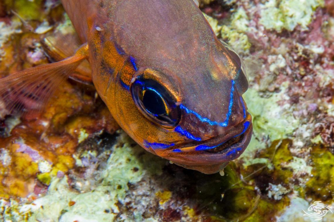 flower cardinalfish Apogon fleurieu