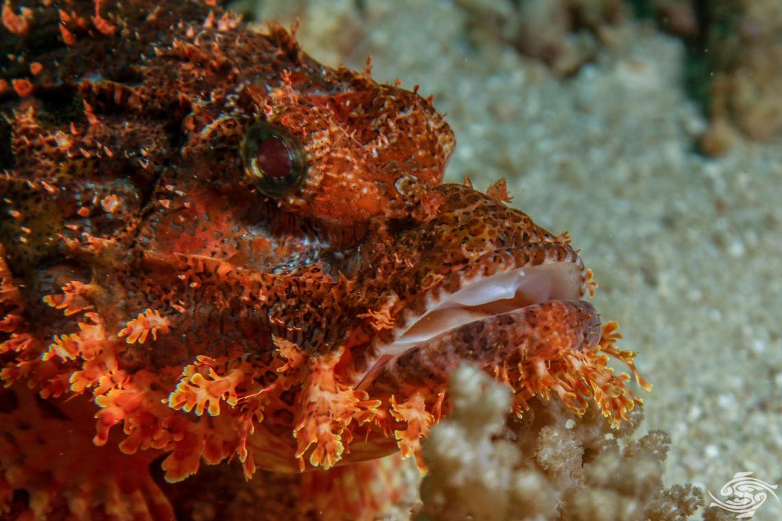 tasseled scorpionfish (Scorpaenopsis oxycephala) is also known as the small-scaled scorpionfish