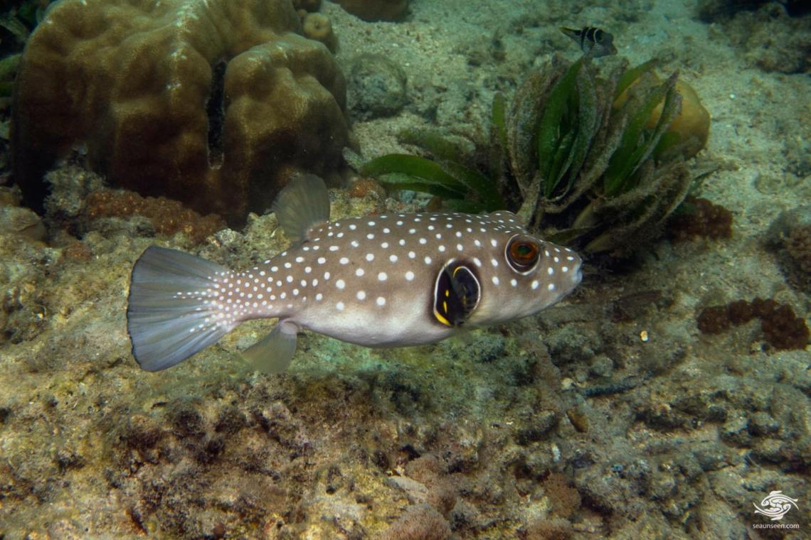 white spotted pufferfish (Arothron hispidus)