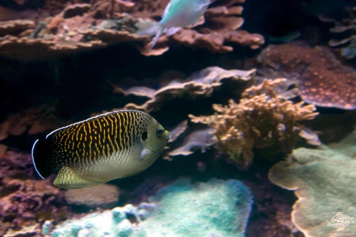 tiger angelfish Aploemichthys kingi
