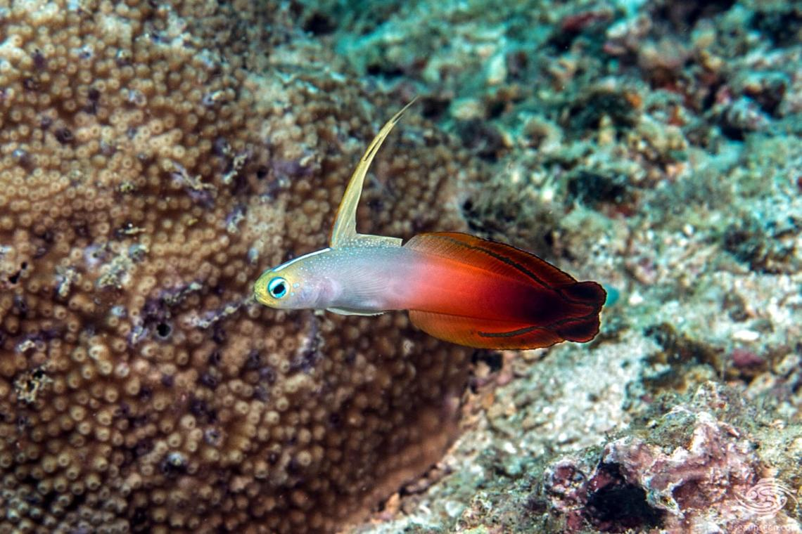 Nemateleotris magnifica, the Fire Goby, Fire Fish,Fire Dartfish, or Red Fire Goby