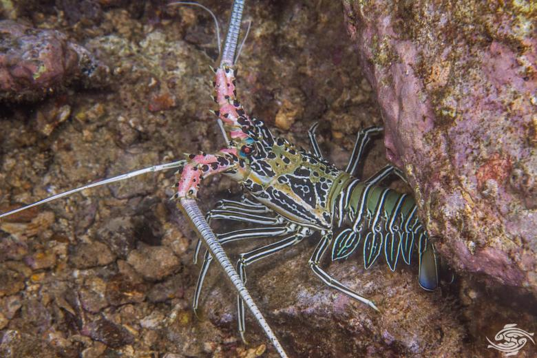 painted spiny lobster, Panulirus versicolor