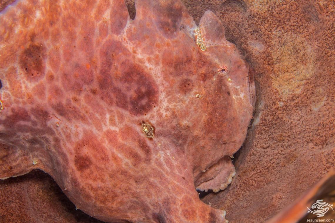 Giant frogfish or Commerson's frogfish, Antennarius commerson