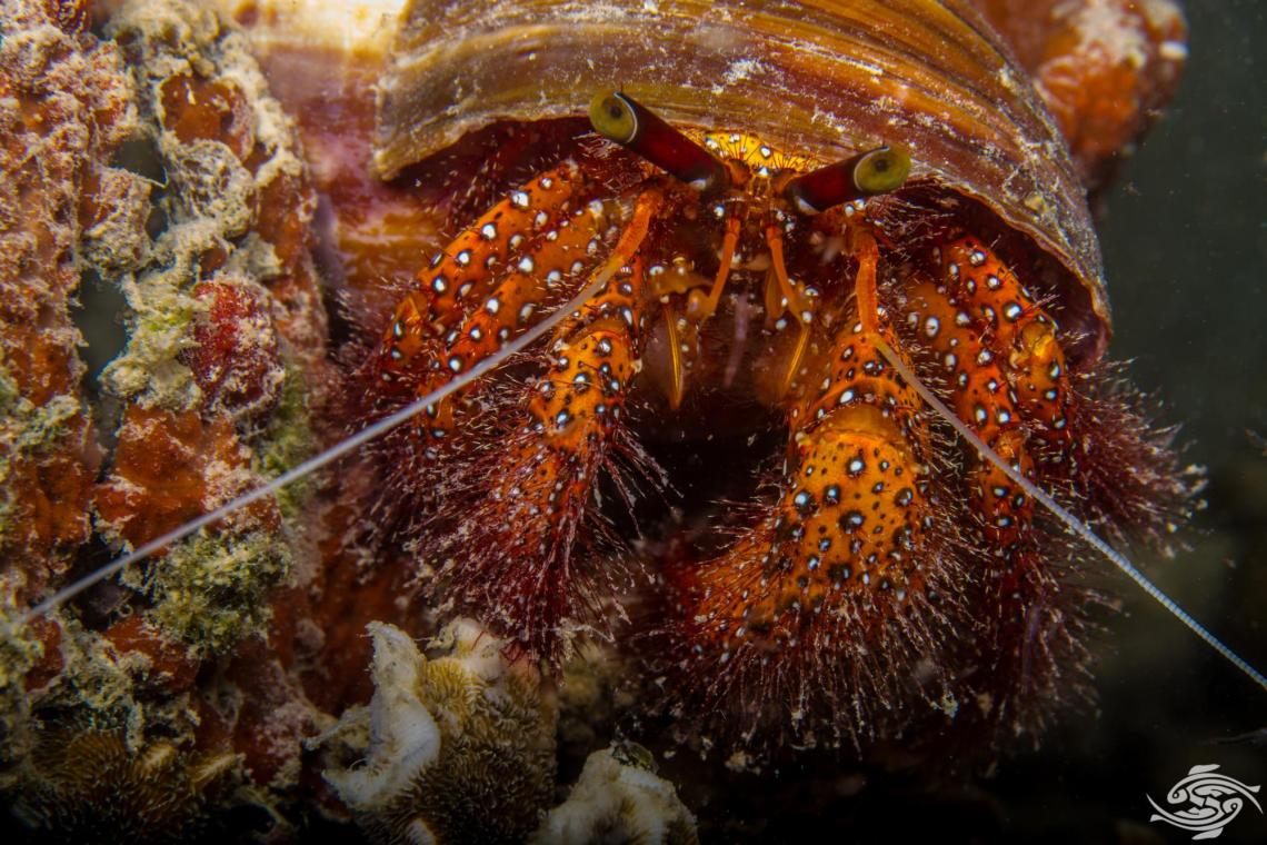 Giant spotted hermit crab Dardanus megistos is also known as the White-spotted Hermit crab