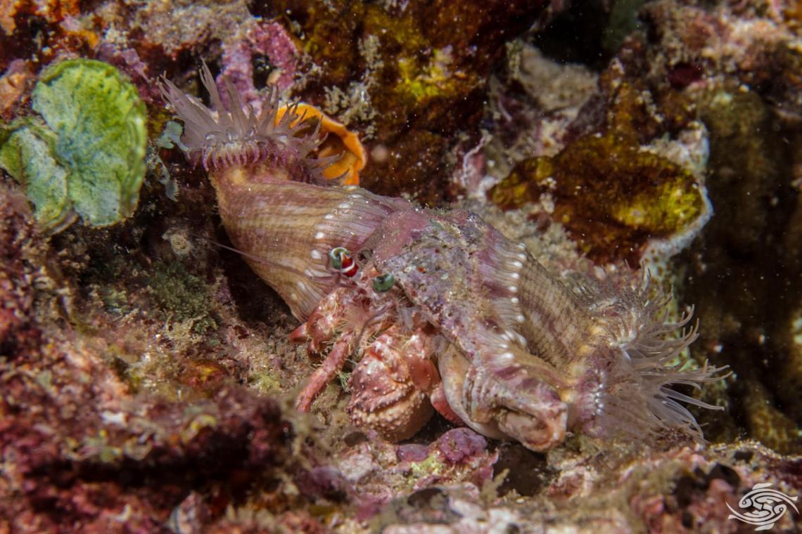 anemone hermit crab, Dardanus pedunculatus