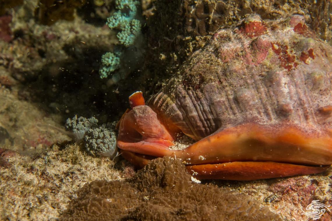 red helmet shell Cypraecassis rufa, also known as the bullmouth shell and also as the cameo shell.