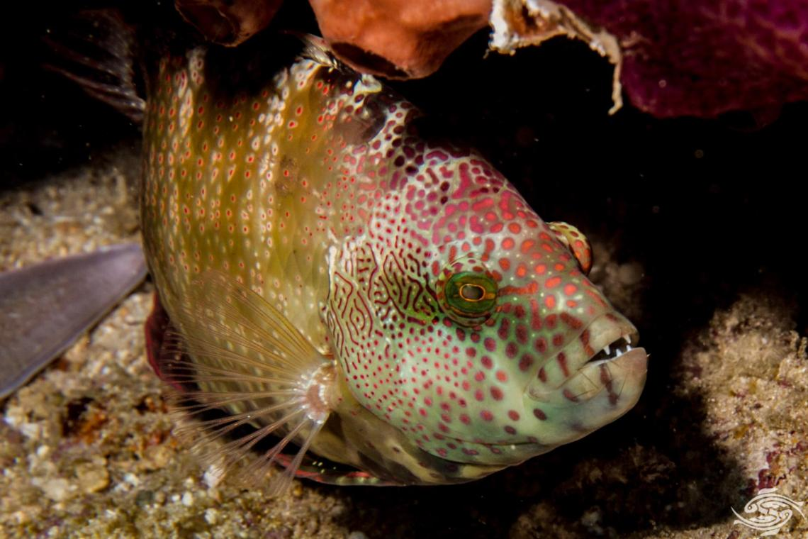 Floral Wrasse, Cheilinus chlorourus is also known as Floral Maori Wrasse