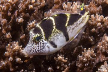 blacksaddle filefish, Paraluteres prionurus, is also known as the mimic