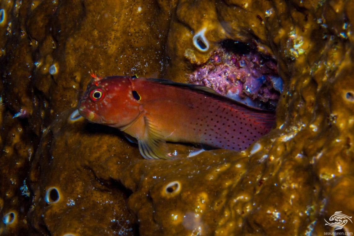 Blackflap Blenny (Cirripectes auritus) also known as the Eared Blenny