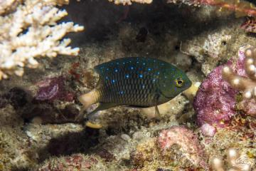 jewel damselfish Plectroglyphidodon lacrymatus, also known as the whitespotted devil