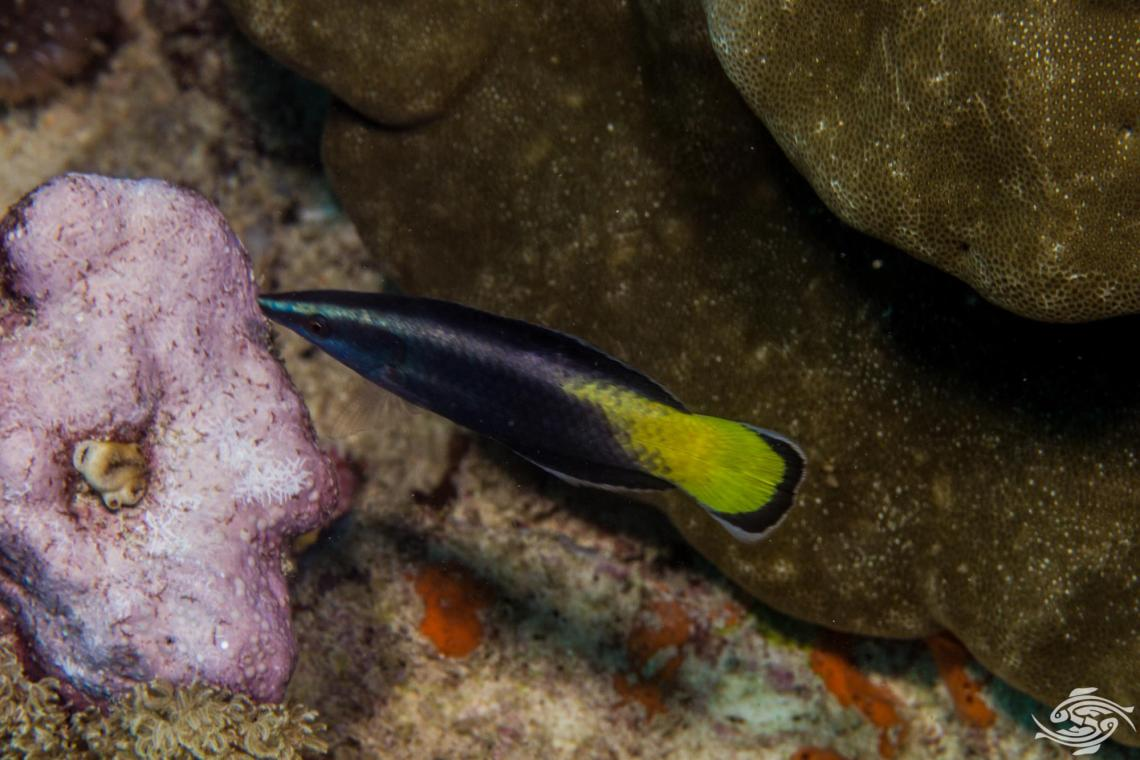 Bicolor cleaner wrasse Labroides bicolor is also known as the Two-colored Cleaner Wrasse and the Yellow Diesel Wrasse.