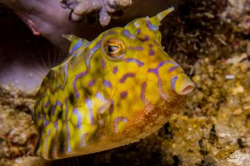 Thornback cowfish, Lactioria fornasini is also known as the Spiny-backed Cow-fish, Thornspine Cowfish and the Thorny-back Cowfish