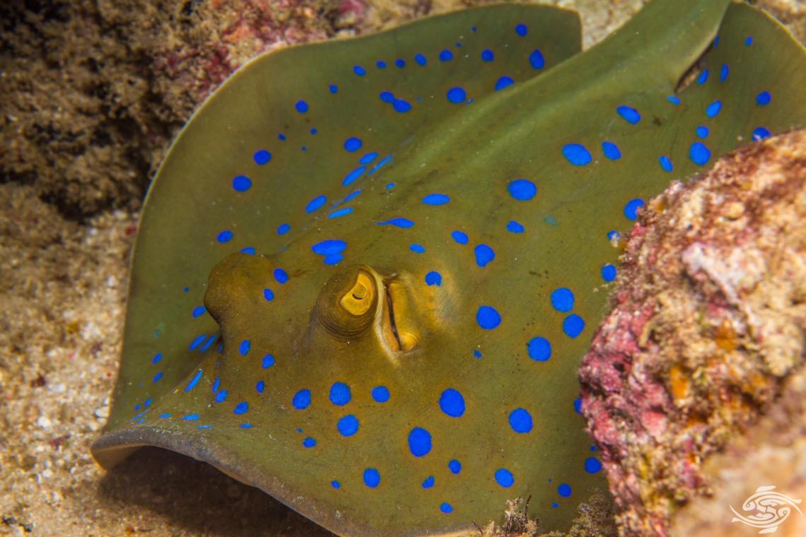 Bluespotted ribbontail Ray Taeniura lymma also known as the bluespotted ray, bluespotted fantail ray, bluespotted lagoon ray, bluespotted stingray, fantail ray, lesser fantail ray, lagoon ray, reef ray, ribbon-tailed stingray and ribbontail stingray