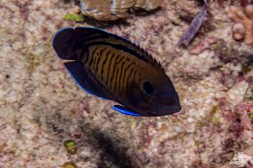 Dusky Angelfish (Centropyge multispinis) also known as the Bluefin Angelfish, the Brown Pygmy Angelfish,Dusky Cherub and Multispined Angelfish