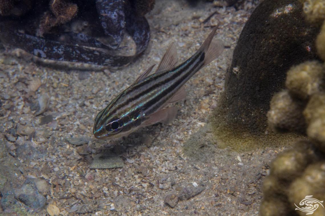 Cook's cardinalfish (Ostorhinchus cookii) also known as the blackbanded cardinalfish and the blackbanded cardinal