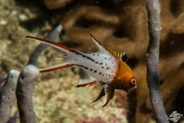 Lyretail hogfish (Bodianus anthioides)
