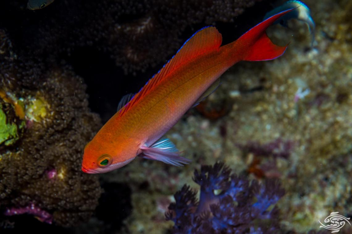 Red-bar Anthias (Pseudanthias cooperi) is also known as the Coopers Anthias, Cooper's fairy basslet, the Red-bar fairy basslet, Red basslet, and the Silverstreak goldie.
