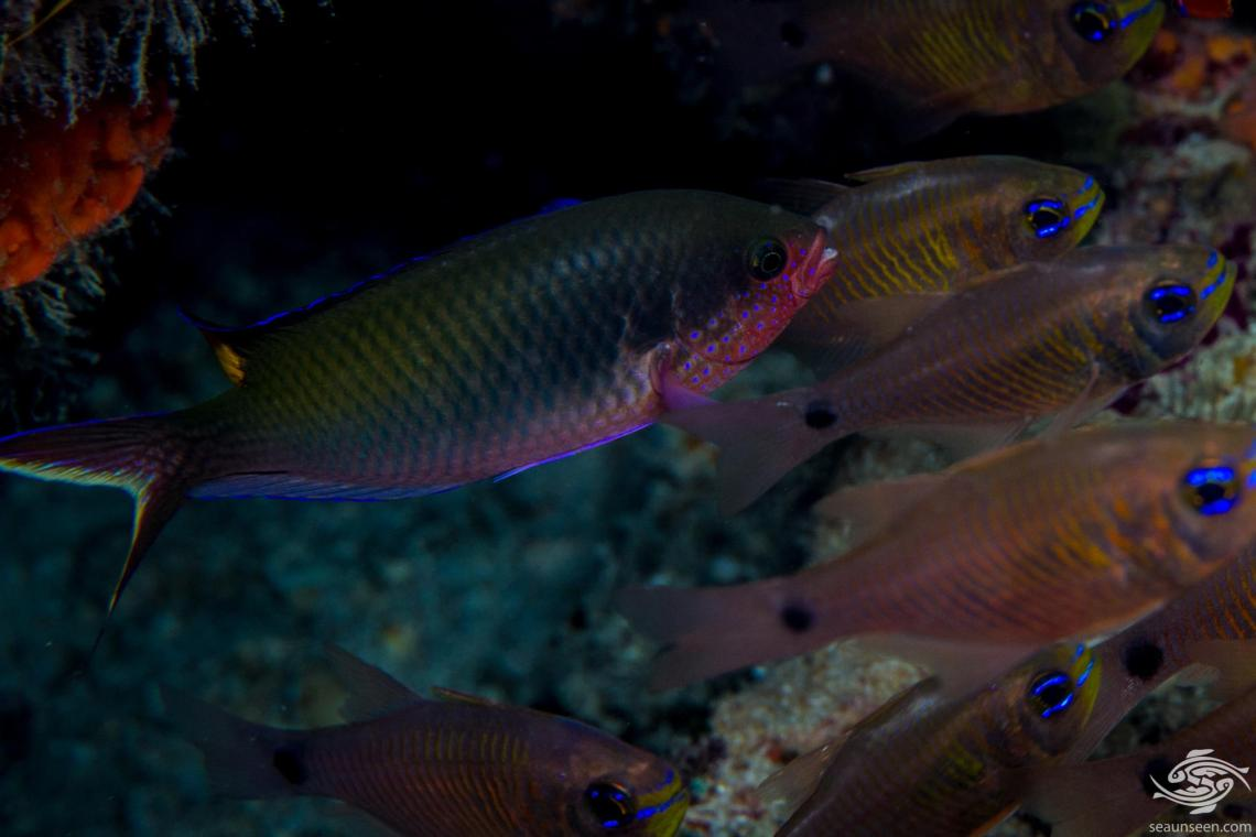 Fusilier Damselfish (Lepidozygus tapeinosoma) is also known as the Fusilier Damsel and the Red Wing Coral Damsel