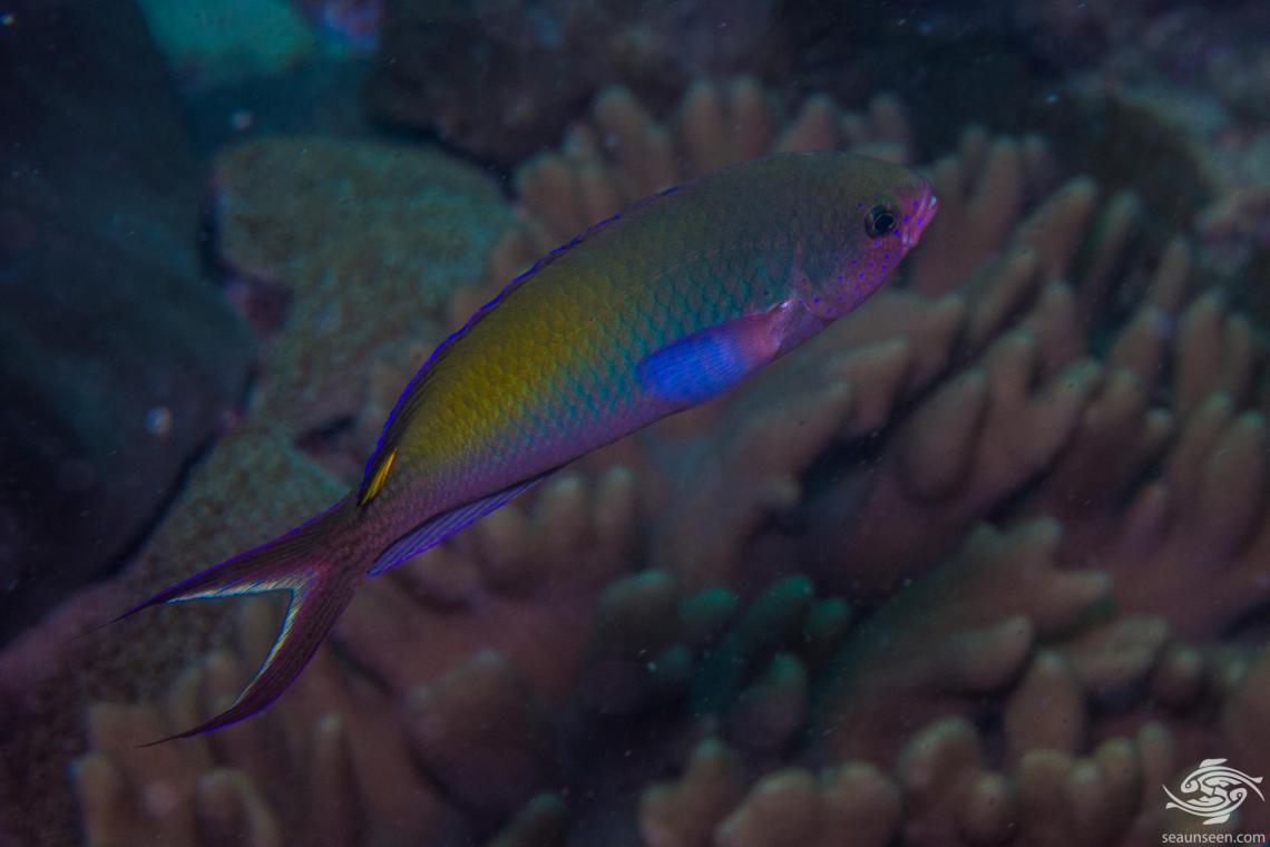 Fusilier Damselfish (Lepidozygus tapeinosoma)