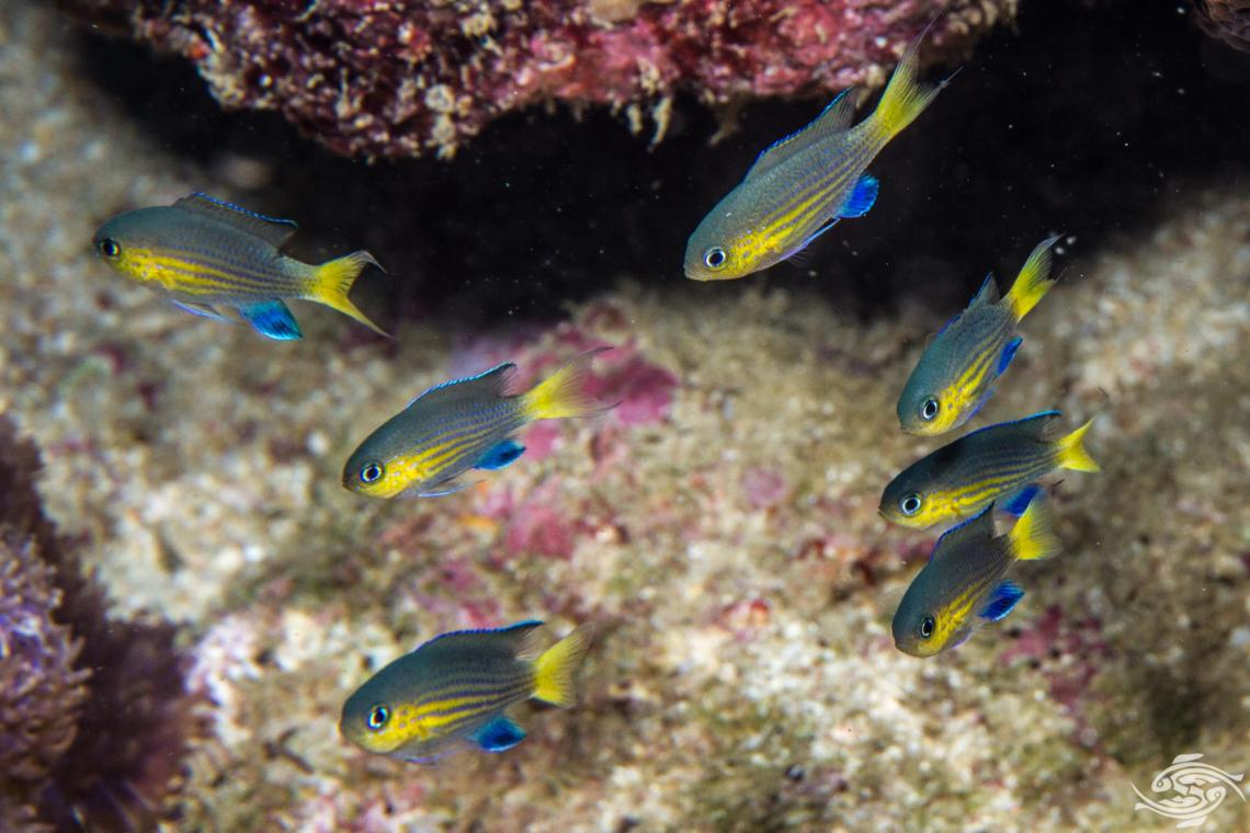 Blacktail chromis Chromis nigrura