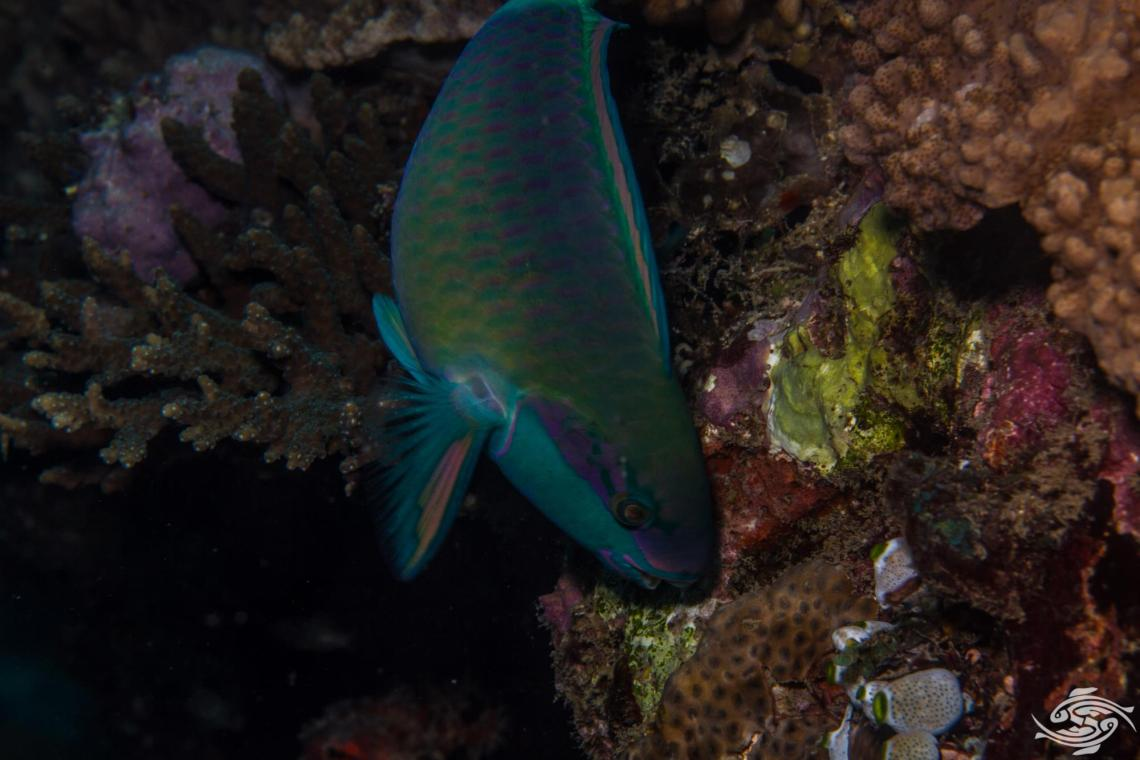 Bullethead Parrotfish (Chlorurus sordidus) is also known as the Daisy Parrotfish