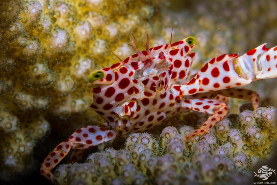 Red Spotted Guard Crab, (Trapezia rufopunctata) is also known as the Rust Spotted Guard Crab