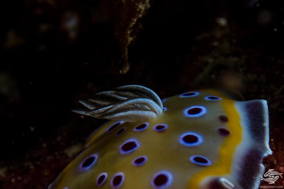 Goniobranchus geminus previously known as Chromodoris geminus also known as the Gem Nudibranch