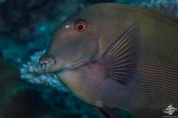 Striated Bristletooth (Ctenochaetus striatus) is also known as the Lined Bristletooth or Striped Bristletooth or Surgeonfish