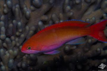 Red-bar Anthias (Pseudanthias cooperi) is also known as the Coopers Anthias, Cooper's fairy basslet, the Red-bar fairy basslet, Red basslet, and the Silverstreak goldie