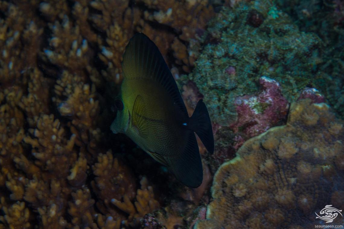 Brushtail tang (Zebrasoma scopas) brown tang, twotone tang, scopas tang.