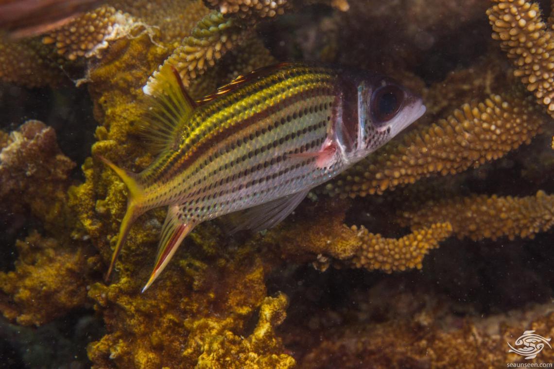 Sammara squirrelfish (Neoniphon sammara) is also known as the blood-spot squirrelfish and the Slender squirrelfish.