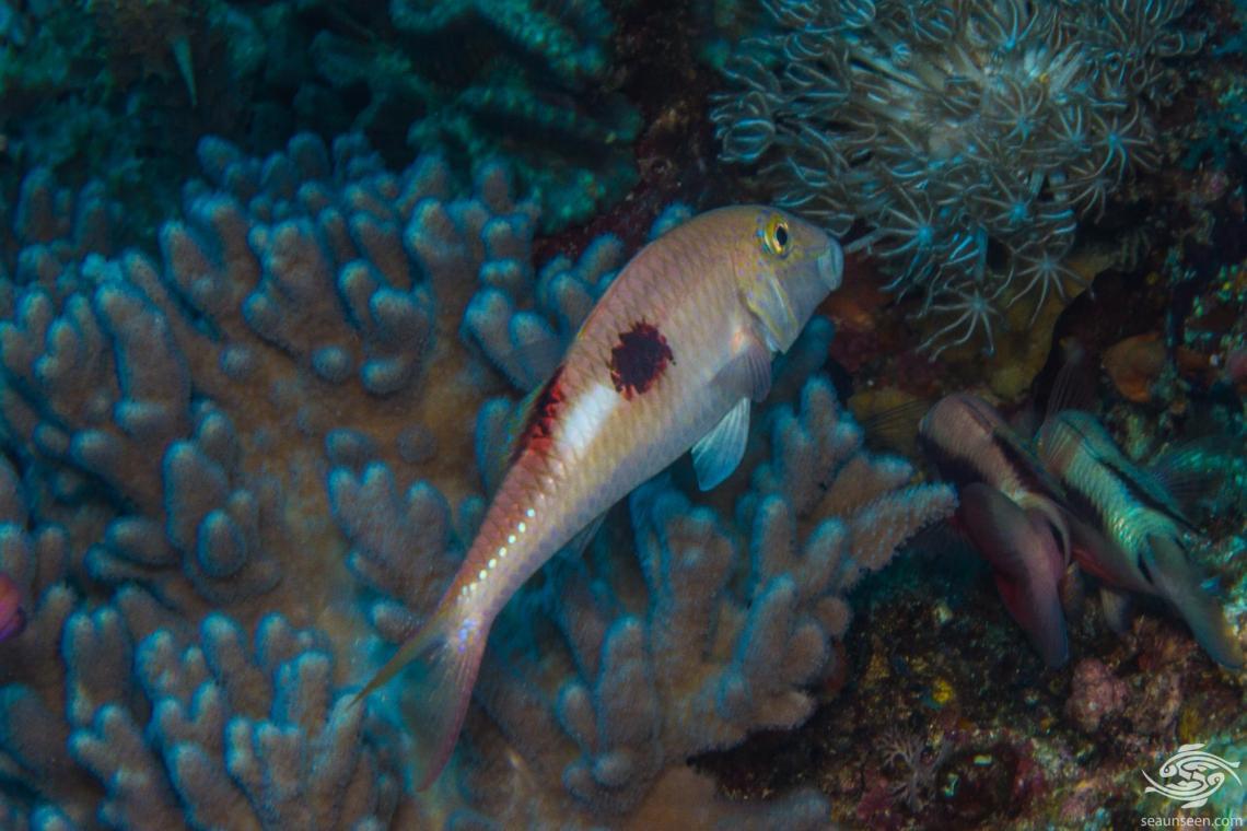 Sidespot Goatfish (Parupeneus pleurostigma)