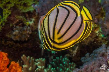 Meyer's Butterflyfish (Chaetodon meyeri) also known as Maypole Butterflyfish