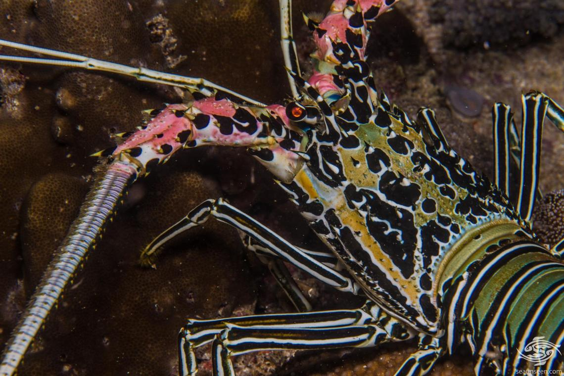 painted spiny lobster, Panulirus versicolor is also known as the blue spiny lobster