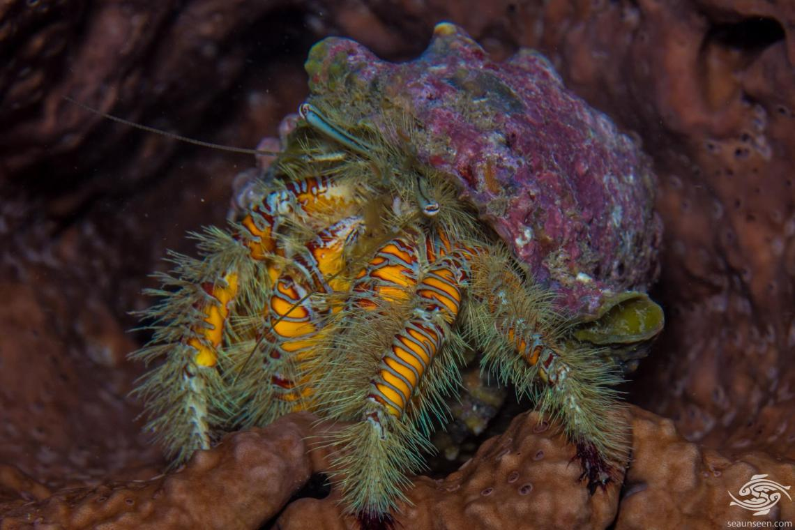 Hairy Yellow Hermit Crab (Aniculus maximus) also known as the Large Hairy Hermit Crab