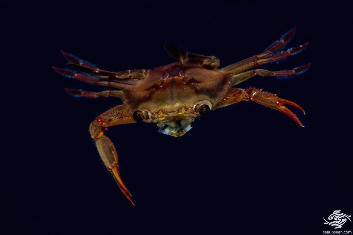 Smith's Swimming Crab (Charybdis smithii)