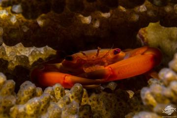 Rusty Guard Crab (Trapezia-bidentata) is also known as the Two Tooth Guard Crab