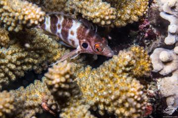 Twospot hawkfish (Amblycirrhitus bimacula) is also known as the Twinspot Hawkfish