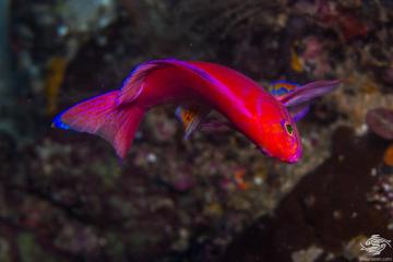 Twospot Anthias (Pseudanthias bimaculatus) is also known as the twinspot anthias and two-spot basslet