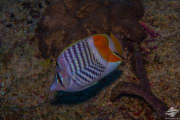 Seychelles Butterflyfish, Chaetodon madagaskariensis is also known as the Indian Ocean Chevron Butterflyfish, Madagascar Butterflyfish and Pearly Butterflyfish