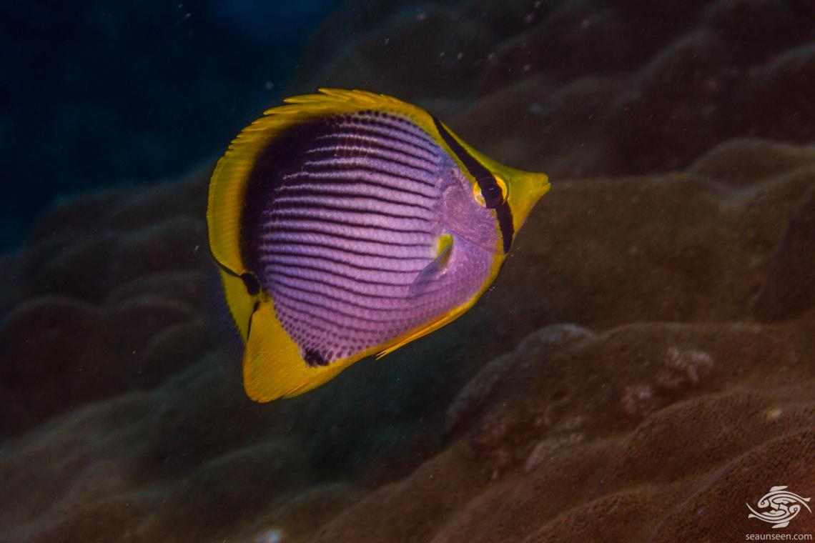 Blackback butterflyfish (Chaetodon melannotus) is also known as the Black-backed butterflyfish and the Melannotus Butterflyfish