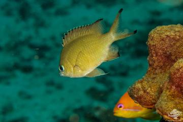 Scaly chromis (Chromis lepidolepis) is also known as the Brown Chromis